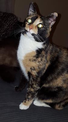 2 y/o domestic short hair tortoiseshell cat