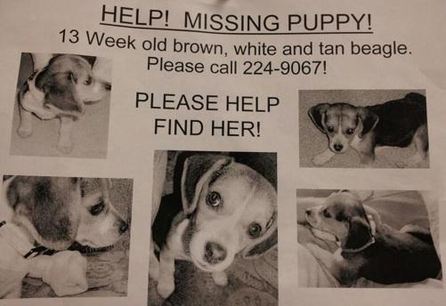 Missing 13-week old female beagle