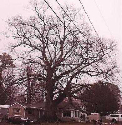 Cherrybark Oak, Ball St.
