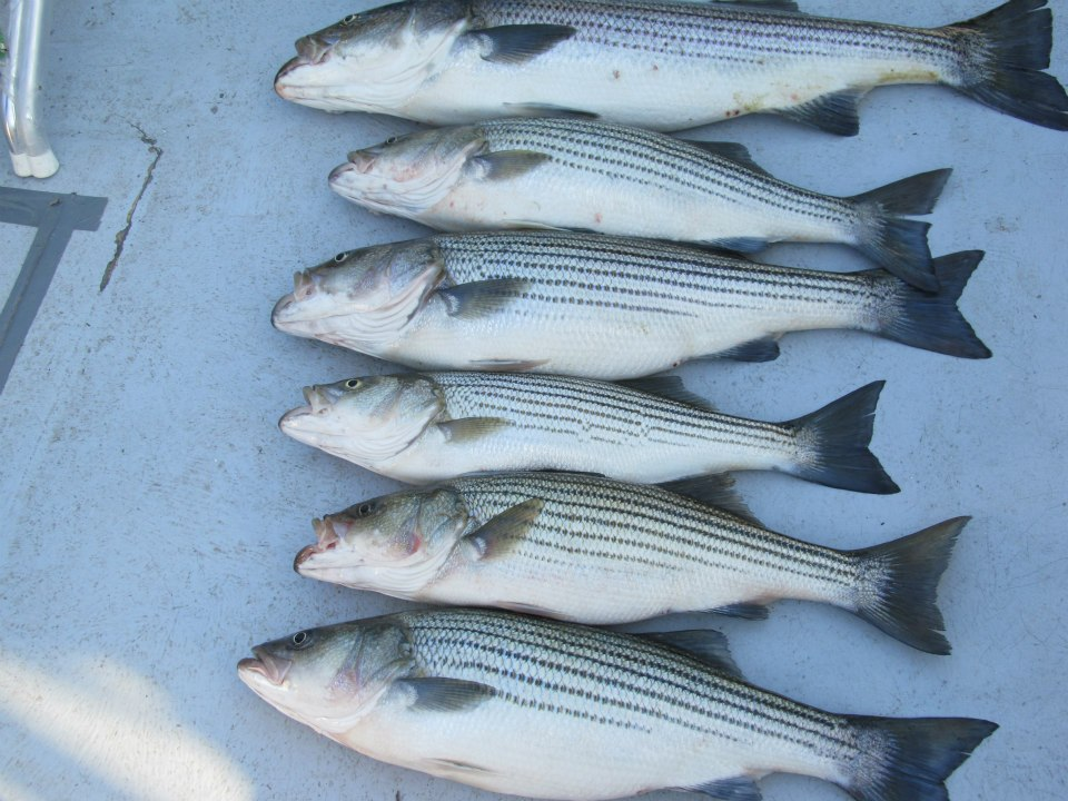 Row of rockfish